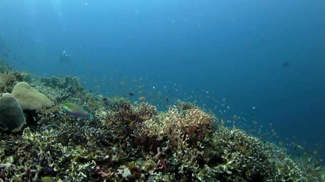 School of Anthias fish, staghorn hard coral, Raja Ampat, Indonesia