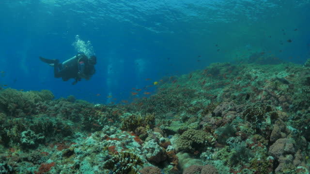 School of Anthias fish swimming around the scuba diver