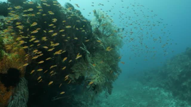 school of anthias fish swimming at deep sea coral reef, taiwan - anthias fish stock videos & royalty-free footage