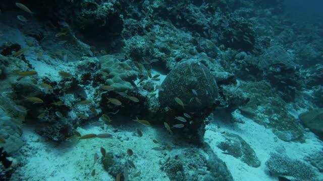 school of anthias fish swimming in deep sea coral reef in maldives - anthias fish stock videos & royalty-free footage