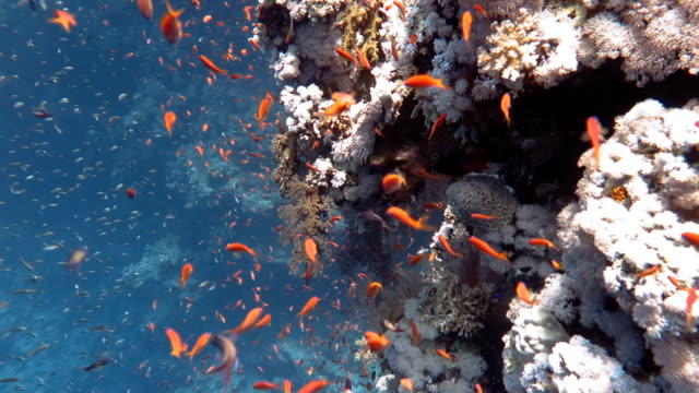 school of anthias fishes in coral reef - anthias fish stock videos & royalty-free footage