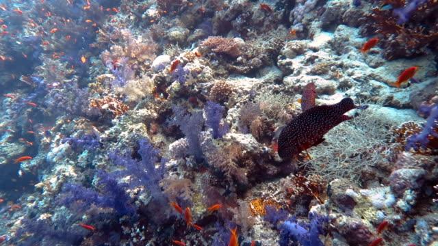 サンゴ礁における Anthias 魚の学校