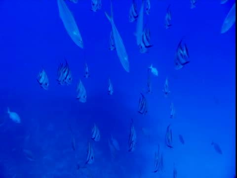 vídeos y material grabado en eventos de stock de a school of atlantic spadefish swims through blue waters. - parte del cuerpo animal