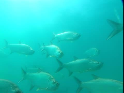 vídeos de stock e filmes b-roll de a school of atlantic tarpon swims through sun-brightened water. - guelra