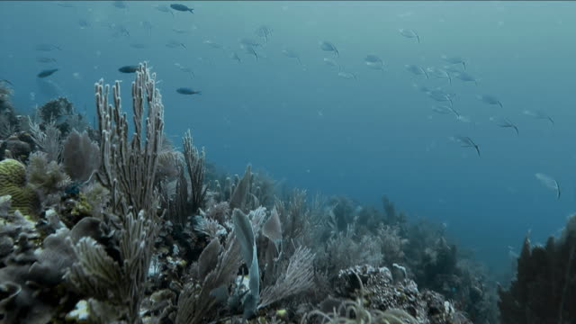 school of bar jack fish swim above caribbean coral - jack fish stock videos and b-roll footage