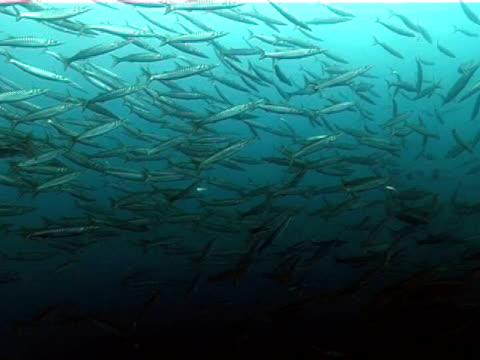 school of barracuda, azores islands, atlantic ocean. - atlantic islands stock videos & royalty-free footage