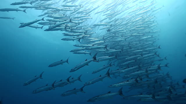ms ts school of barracuda fish swimming against blue water / sipadan, semporna, tawau, malaysia - school of fish stock videos & royalty-free footage