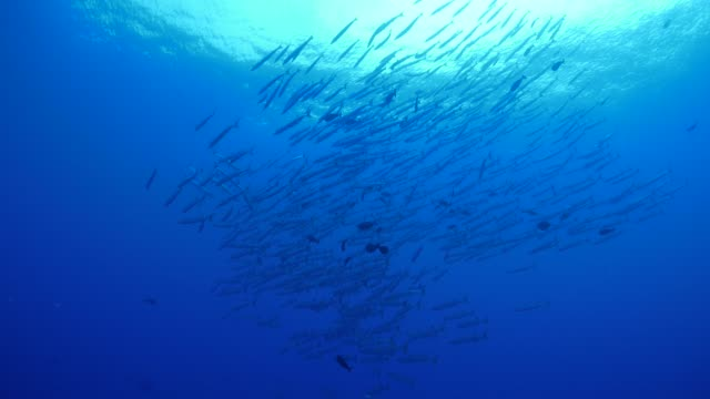 school of barracuda fish swimming undersea, blue corner, palau - barracuda stock videos & royalty-free footage
