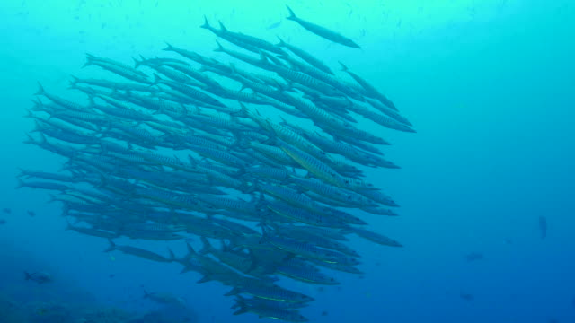 school of barracuda fish undersea - school of fish stock videos & royalty-free footage