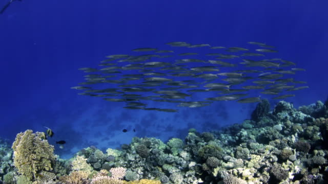 school of barracuda - red sea - barracuda stock videos & royalty-free footage