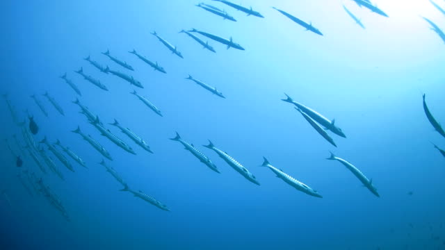 school of barracuda swimming on the surface - barracuda stock videos & royalty-free footage