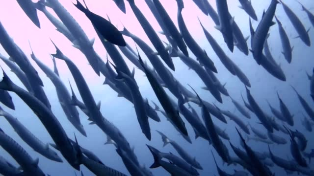 school of barracuda swimming underwater - barracuda stock videos & royalty-free footage