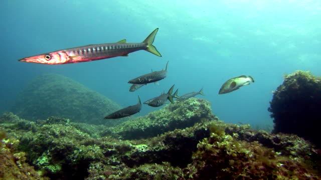 ws a school of barracudas in the mediterranean sea (sphyrena viridensis) - mar mediterraneo video stock e b–roll