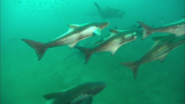 school of bat rays and sandtiger ragtooth shark. north carolina, atlantic ocean  - sand tiger shark stock videos and b-roll footage