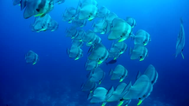 vídeos y material grabado en eventos de stock de school of batfish in maldives - pez de agua salada