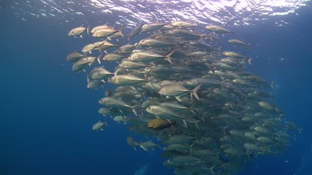 ms ts zi school of big eyed trevally / layang layang, sabah, malaysia - sabah state stock videos and b-roll footage
