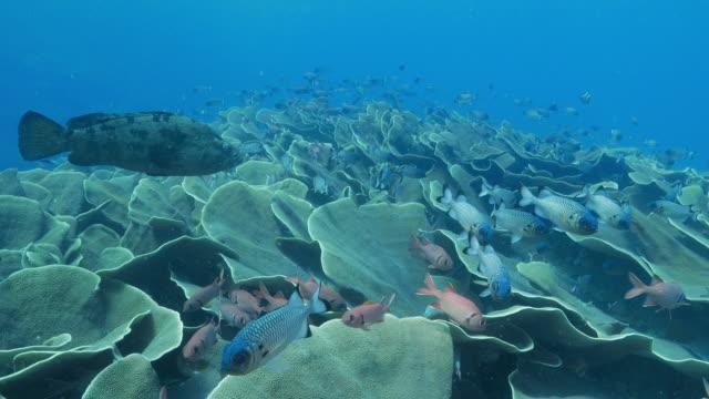 School van grootoogtonijn vissen zwemmen in kool koraal kolonie