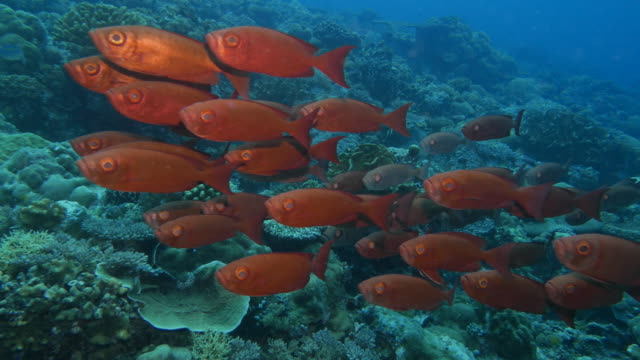 stockvideo's en b-roll-footage met school van grootoogtonijn snapper vis in rif - oahu