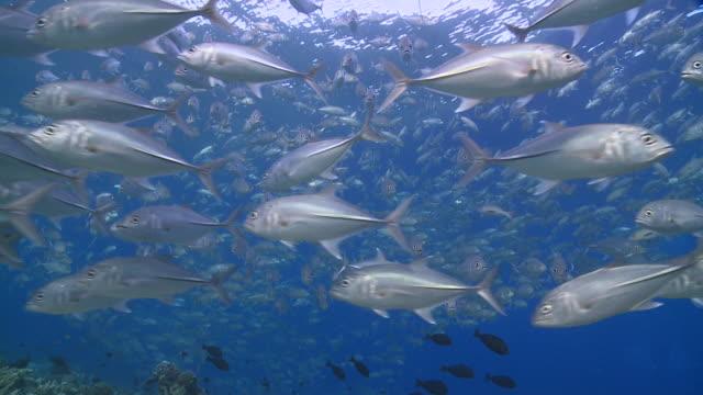 school of bigeye trevallies (caranx sexfasciatus) in shallows, swimming around, cu, vaavu atoll, the maldives - jack fish stock videos and b-roll footage