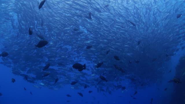school of bigeye trevally (gin-ga-me-a-ji) swimming under sea surface - jack fish stock videos and b-roll footage