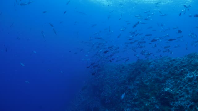 school of black snapper and trevally jack fish undersea - snapper fish stock videos & royalty-free footage