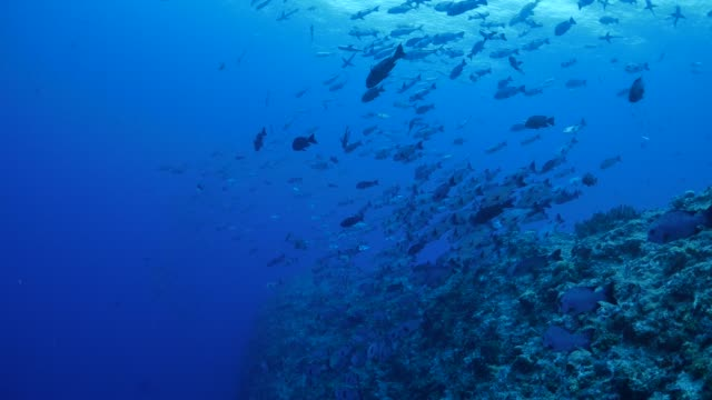 School of black snapper swimming undersea