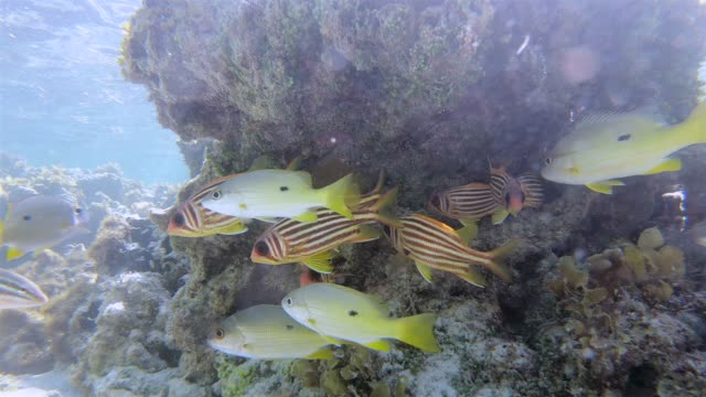 school of black spot snapper and soldierfish in indian ocean on la digue island , seychelles , archipelago country in the indian ocean - seychelles stock videos & royalty-free footage