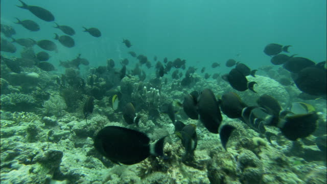 vídeos de stock, filmes e b-roll de a school of black surgeonfish swims past coral formations on the floor of the great barrier reef. - fundo do mar
