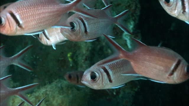 cu, school of blackbar soldierfish (myripristis jacobus), saint lucia - イットウダイ点の映像素材/bロール