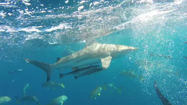 vídeos de stock e filmes b-roll de school of blacktip sharks - tubarão galha preta