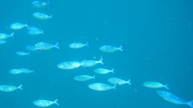 school of blue fusilier fish (caesio caerulaurea) - 自衛点の映像素材/bロール