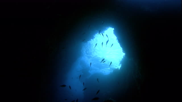 A school of blue maomao swims at a marine cave entrance. Available in HD.