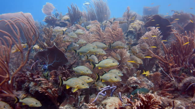 vídeos de stock e filmes b-roll de school of blue striped grunts resting amongst the soft corals, gardens of the queens national park in southern cuba. - haemulon bonariense