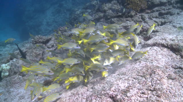School of Bluelined Snappers (Lutjanus kasmira) swimming and separate, CU, La Paz, Sea of Cortez, Mexico