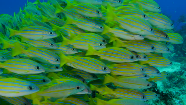 School of Bluestripe snapper fish (bluelined) undersea