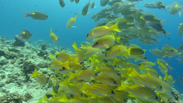 A school of bluestripe snapper swims near a coral reef.