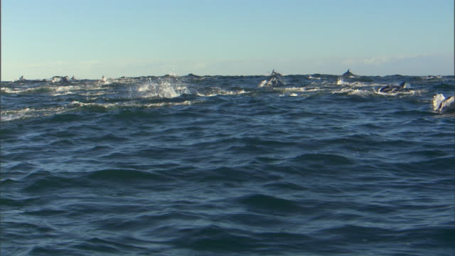 WS ZI PAN School of bottlenose dolphins swimming and jumping in sea under blue sky / Port Elizabeth, Eastern Cape, South Africa