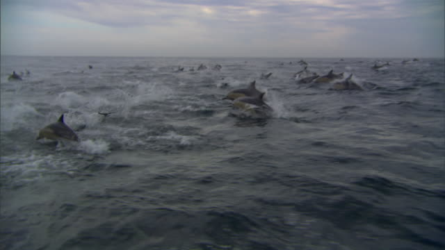 WS TS School of bottlenose dolphins swimming in bay / Port Elizabeth, Eastern Cape, South Africa