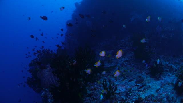 school of butterflyfish, triggerfish, undersea reef - butterflyfish stock videos & royalty-free footage