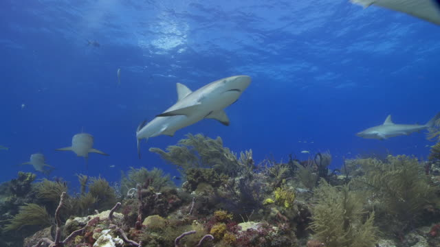 school of caribbean reef shark over reef with hook in mouth - caribbean reef shark stock videos & royalty-free footage