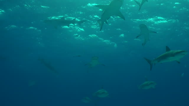 school of caribbean reef sharks swims overhead. - animal fin stock videos & royalty-free footage