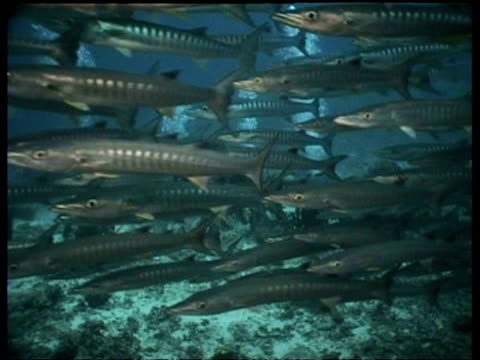 school of chevron barracuda swim past camera and group of divers, pan right, sipadan, borneo, malaysia - tauchgerät stock-videos und b-roll-filmmaterial