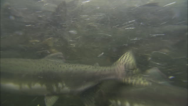 a school of chinook salmon struggles as they migrate upstream. - freshwater stock videos & royalty-free footage