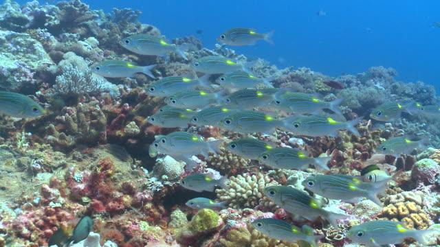 MS ZO School of Chromis on reef / Layang Layang, Sabah, Malaysia
