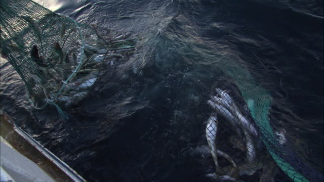 school of cods caught in a fishing net in norway - fishing stock videos & royalty-free footage