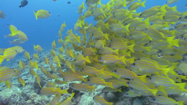 A school of colorful bluestripe snapper swims together.