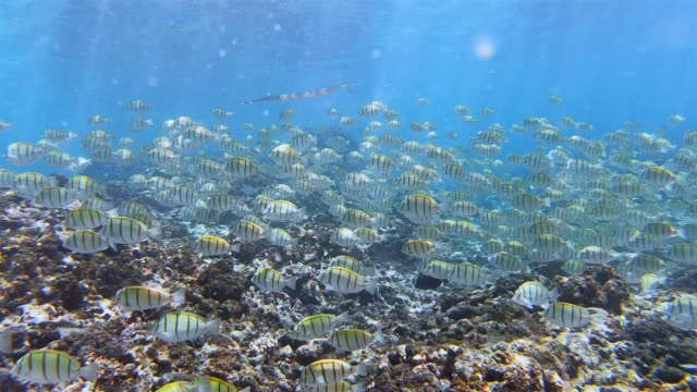 school of convict surgeonfish in indian ocean on la digue island , seychelles , archipelago country in the indian ocean - seychelles stock videos & royalty-free footage