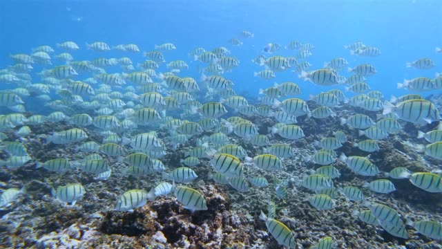 School of Convict Surgeonfish in Indian Ocean on Praslin island , Seychelles , archipelago country in the Indian Ocean