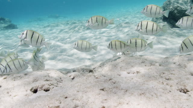 school of convict surgeonfish - surgeonfish stock videos and b-roll footage