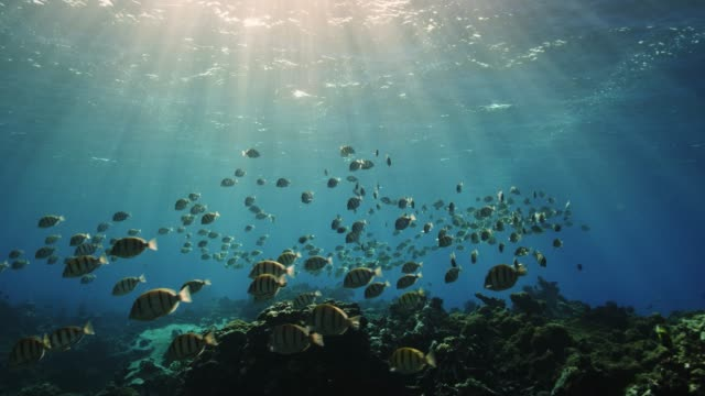 a school of convict tangs swim in the protected lagoon of palmyra atoll, part of pacific remote islands marine national monument. - micronesia stock videos & royalty-free footage